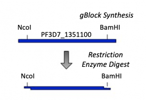 Fa20 M2D1 insert synthesis and digest .png